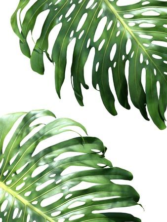 Double Philodendron (color)