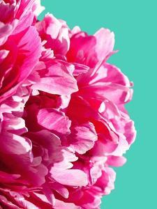 Pink Peony by Lexie Greer