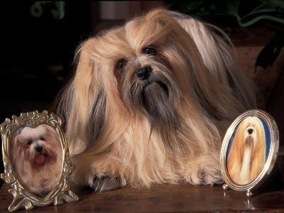 Lhasa Apso with Framed Pictures of Other Lhasa Apsos-Adriano Bacchella-Photographic Print