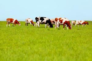 Cows Grazing on Pasture by Liang Zhang