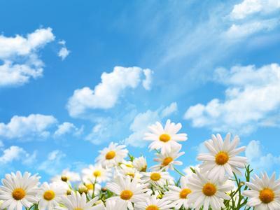 Field of Daisy Flowers against Blue Sky