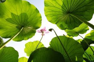 Lotus Rise up to the Sky by Liang Zhang