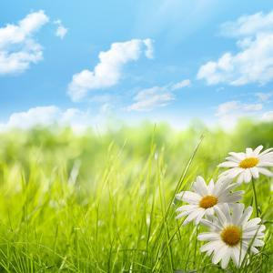 Natural Background with Daisy Flower on Grass by Liang Zhang