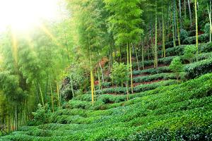 Tea Plantation with Bamboo Forest by Liang Zhang