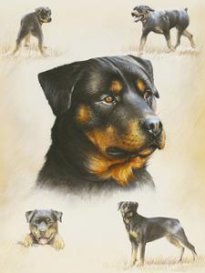 Rottweiler by Libero Patrignani