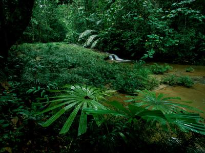 Licuala Palms Growing Wildly in a Rainforest-Tim Laman-Photographic Print
