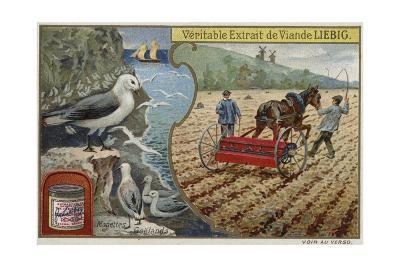 Liebig Card Featuring Seabirds--Giclee Print
