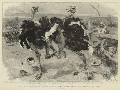 Life on a Californian Ostrich-Farm, a Fight in the Paddock Between Two Ostriches-William Small-Giclee Print