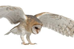 Barn Owl, Tyto Alba, 4 Months Old, Flying against White Background by Life on White