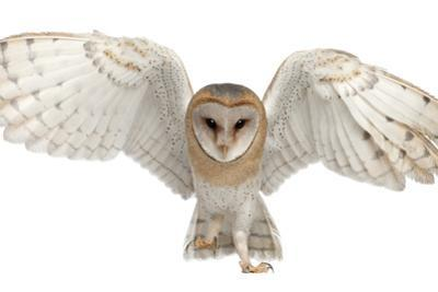 Barn Owl, Tyto Alba, 4 Months Old, Portrait Flying against White Background by Life on White
