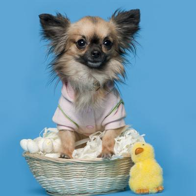 Chihuahua, 16 Months Old, Sitting In Front Of Blue Background With Easter Basket