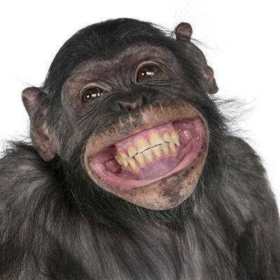 Close-Up Of Mixed-Breed Monkey Between Chimpanzee And Bonobo Smiling, 8 Years Old by Life on White