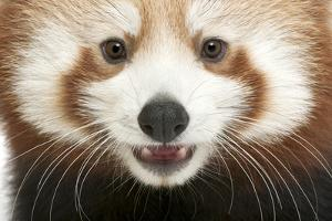 Close-Up of Young Red Panda or Shining Cat, Ailurus Fulgens, 7 Months Old by Life on White