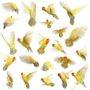 Composition of Rosy-Faced Lovebird Flying, Agapornis Roseicollis, also known as the Peach-Faced Lov by Life on White