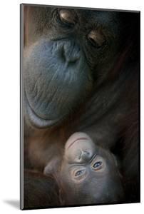 Mother Orangutan And Her Newborn Baby 1 Months - Pongo Pygmaeus by Life on White