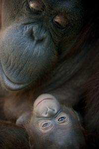 Mother Orangutan And Her Newborn Baby 1 Months - Pongo Pygmaeus by Life on White