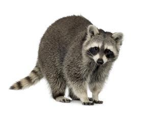 Raccoon (9 Months) - Procyon Lotor by Life on White