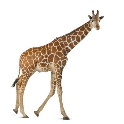 Somali Giraffe, Commonly known as Reticulated Giraffe, Giraffa Camelopardalis Reticulata, 2 and a H
