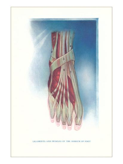 Ligaments And Muscles Of Dorsum Of Foot Art Print By Art