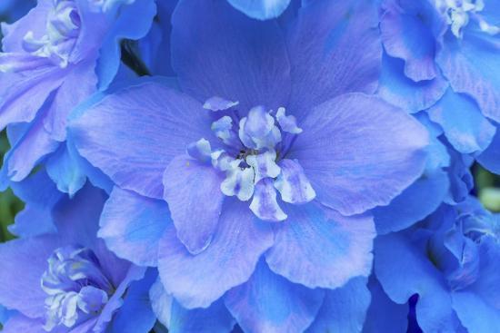 Light Blue and white delphinium larkspur.VanDusen Botanical Garden, Vancouver, British Columbia-William Perry-Photographic Print