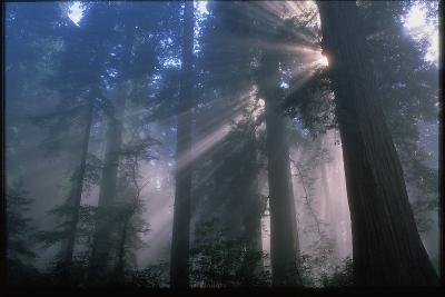 Light Coming Through Redwood Trees.-Kaj Svensson-Photographic Print
