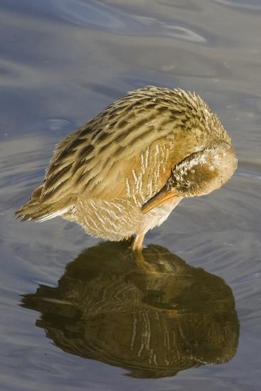 Light-Footed Clapper Rail Grooming-Hal Beral-Photographic Print