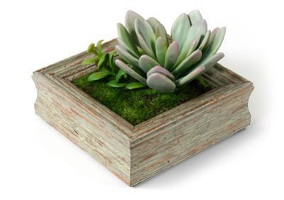 Light Green Succulent -Barnwood Sage
