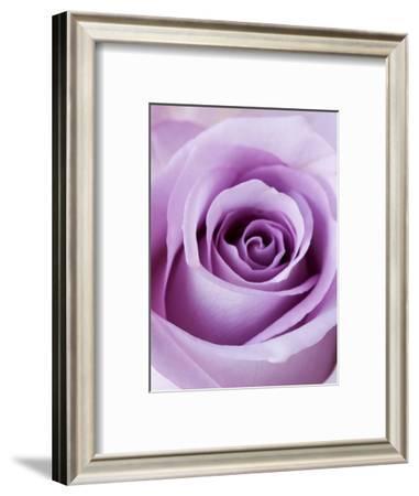 Light Purple Rose-Clive Nichols-Framed Photographic Print