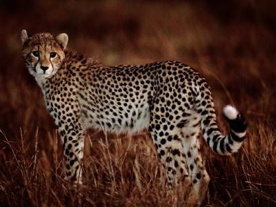 Light Reflects in the Eye of an African Cheetah-Chris Johns-Photographic Print