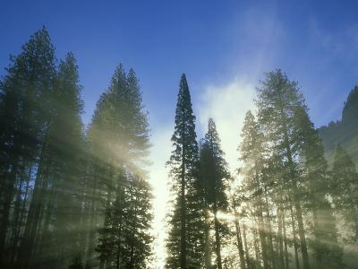 Lightbeams Streaming Through Pine Trees at Sunrise, Yosemite National Park, CA-Adam Jones-Photographic Print