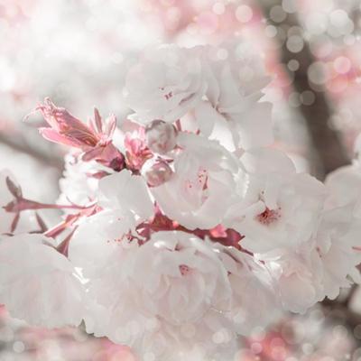 Pinky Blossom 3 by LightBoxJournal