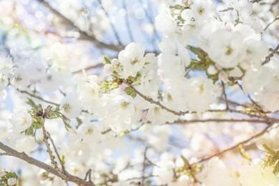 White Spring Blossoms 02 by LightBoxJournal