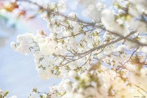 White Spring Blossoms 04 by LightBoxJournal