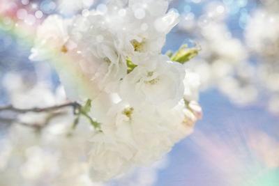 White Spring Blossoms 08 by LightBoxJournal