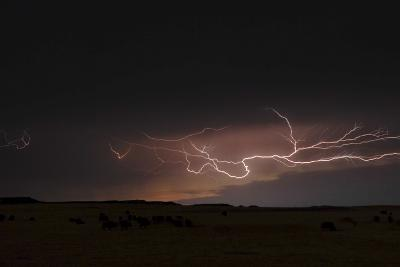 Lightening Blazes across the Sky at Night over American Bison, Bison Bison-Michael Forsberg-Photographic Print