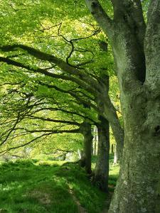 Line of Beech Trees in a Wood in Spring by Lightfoot Jeremy