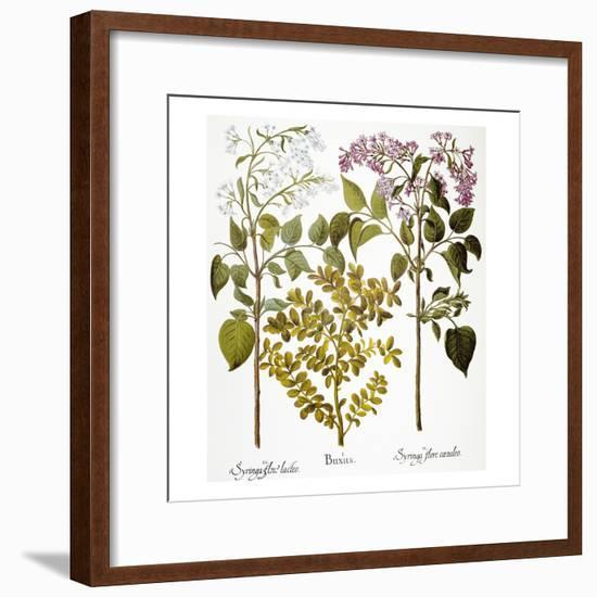 Lilac And Box, 1613-Besler Basilius-Framed Giclee Print