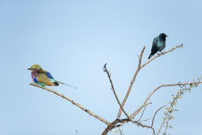 Lilac Breasted Roller and Burchell's Starling, Botswana-Paul Souders-Photographic Print