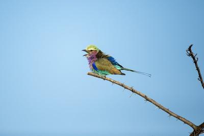 https://imgc.artprintimages.com/img/print/lilac-breasted-roller-chobe-national-park-botswana_u-l-pzqgyj0.jpg?p=0