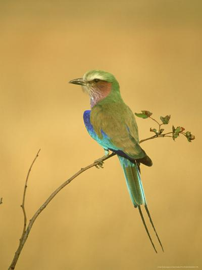 Lilac-Breasted Roller, Coracias Caudata Adult Perched, Botswana, Southern Africa-Mark Hamblin-Photographic Print