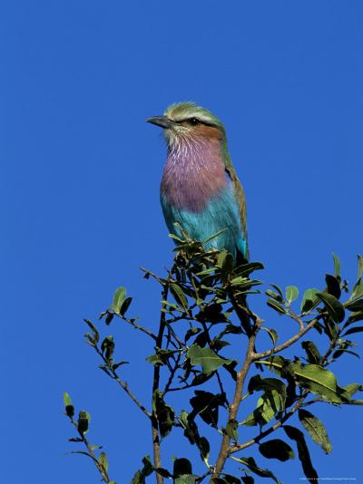 Lilac-Breasted Roller (Coracias Caudata), Kruger National Park, South Africa, Africa-Steve & Ann Toon-Photographic Print