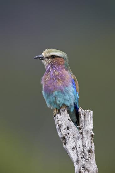 Lilac-Breasted Roller (Coracias Caudata), Kruger National Park, South Africa, Africa-James Hager-Photographic Print