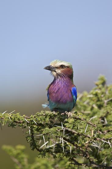 Lilac-Breasted Roller (Coracias Caudata)-James Hager-Photographic Print
