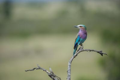 Lilac-Breasted Roller, Coracias Caudatus, Perching On A Branch-Andrew Coleman-Photographic Print