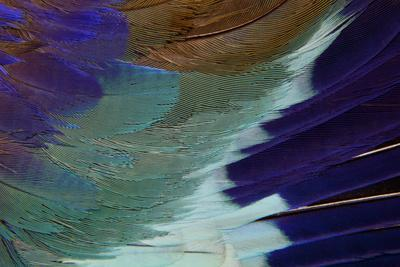 https://imgc.artprintimages.com/img/print/lilac-breasted-roller-feathers-pattern_u-l-q12t7zt0.jpg?p=0