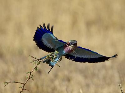 Lilac-Breasted Roller Landing with a Grasshopper in its Beak, Masai Mara National Reserve, Kenya-James Hager-Photographic Print
