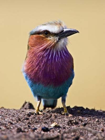 Lilac-Breasted Roller, Maasai Mara, Kenya-Joe Restuccia III-Photographic Print
