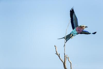 Lilac Breasted Roller, Moremi Game Reserve, Botswana-Paul Souders-Photographic Print