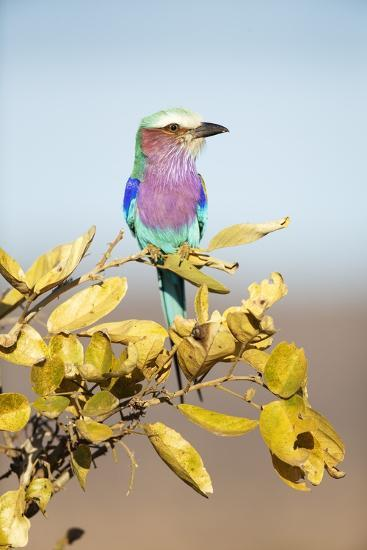 Lilac-Breasted Roller, South Africa-Richard Du Toit-Photographic Print