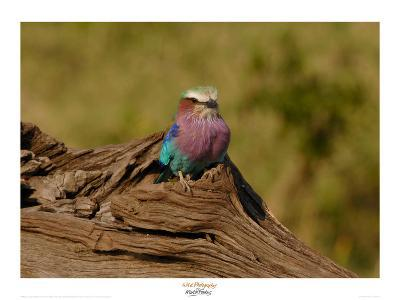 Lilac Breasted Roller-Martin Fowkes-Giclee Print